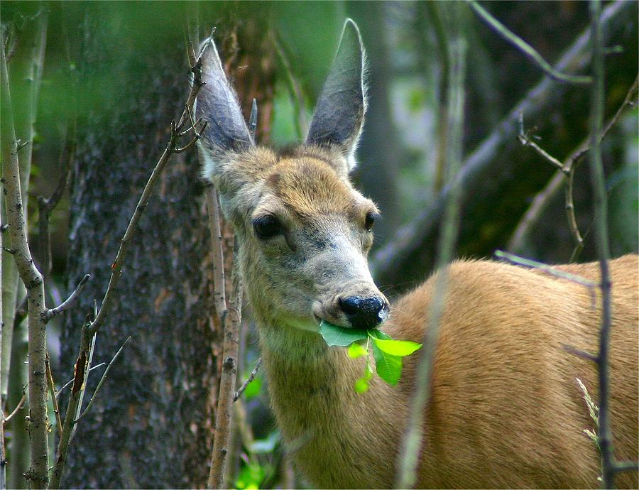 Colorado Photograph - Mule Deer Eating Aspen Leaves by Perspective Imagery