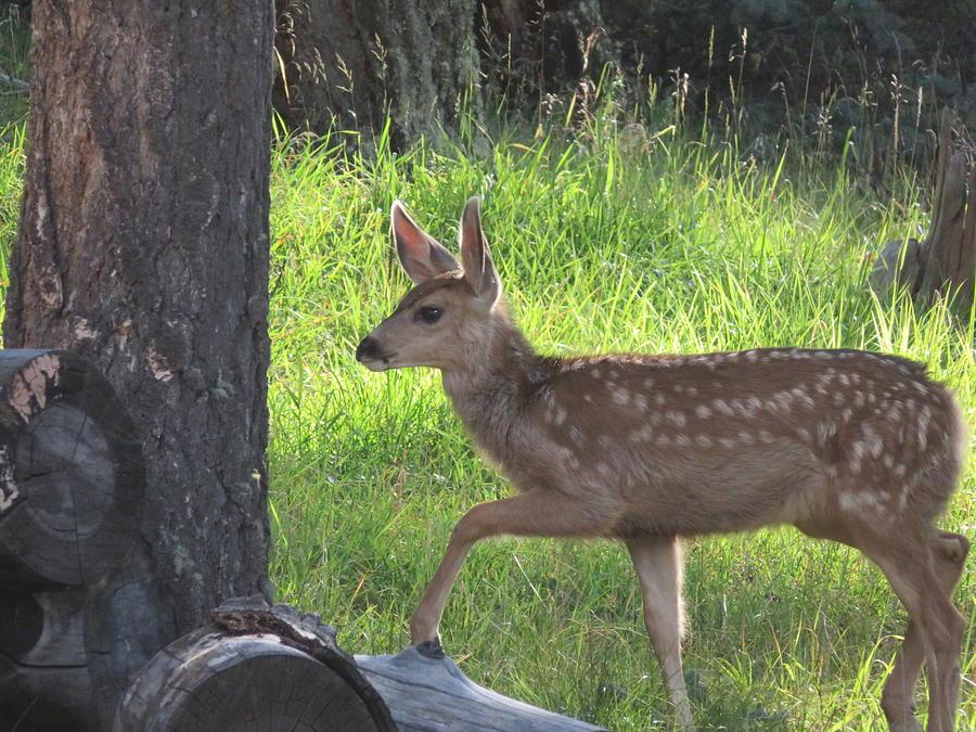 Mule Deer Fawn by Judith Lauter