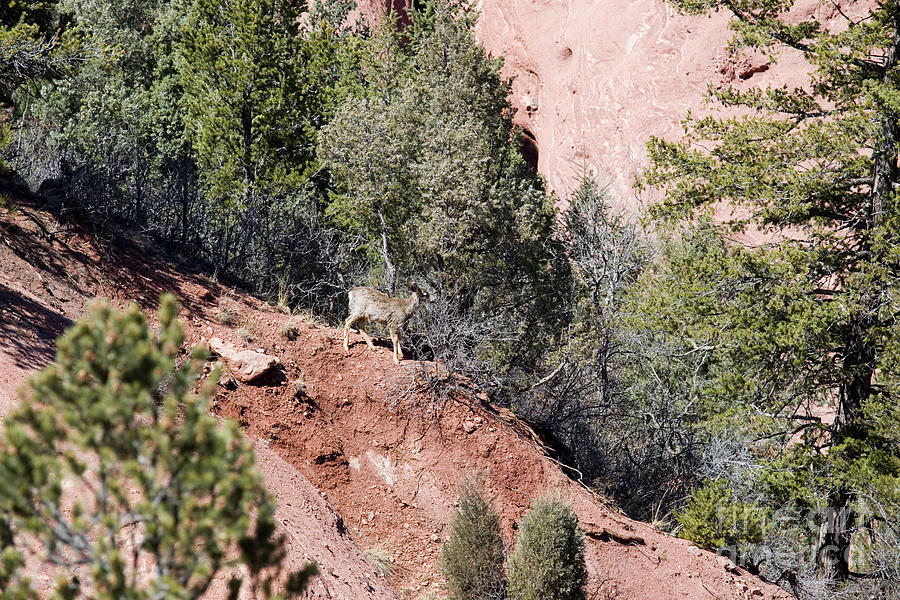 Mule Deer In Red Rock Canyon Photograph