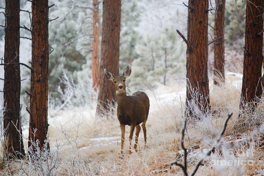Mule Deer In Snowstorm On Bald Mountain Photograph