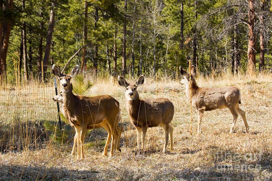 Mule Deer In The Back Yard Photograph