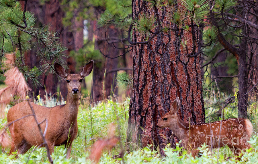 Mule Deer In The Forest Photograph