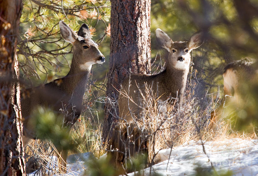 Mule Deer In The Pike National Forest In Winter Photograph