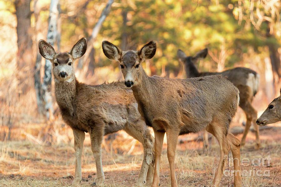 Mule Deer In The Woods Photograph
