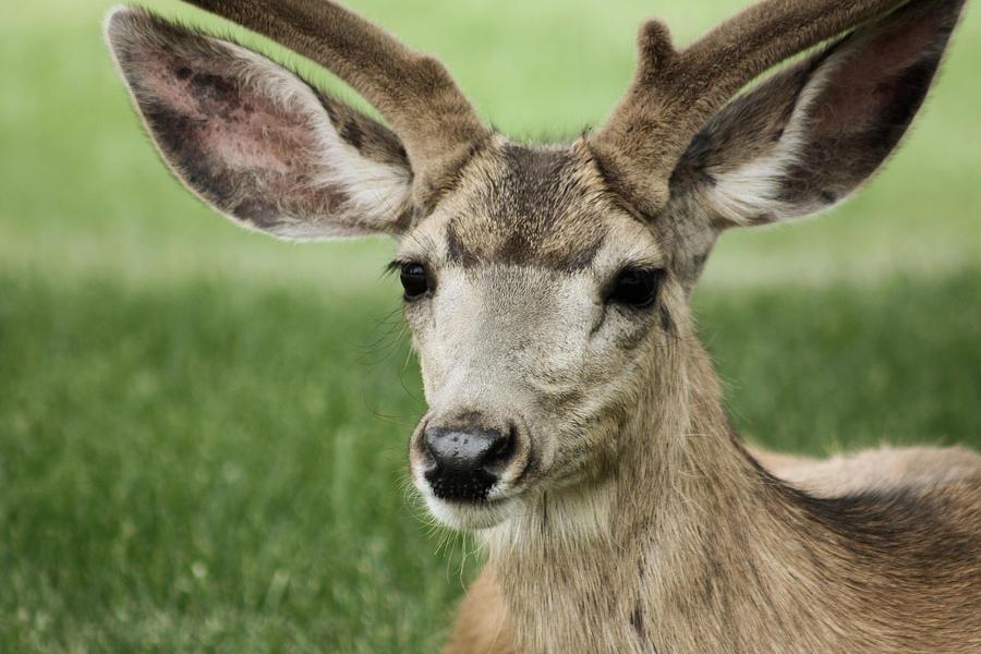 Mule Deer In Velvet by Lori Peters