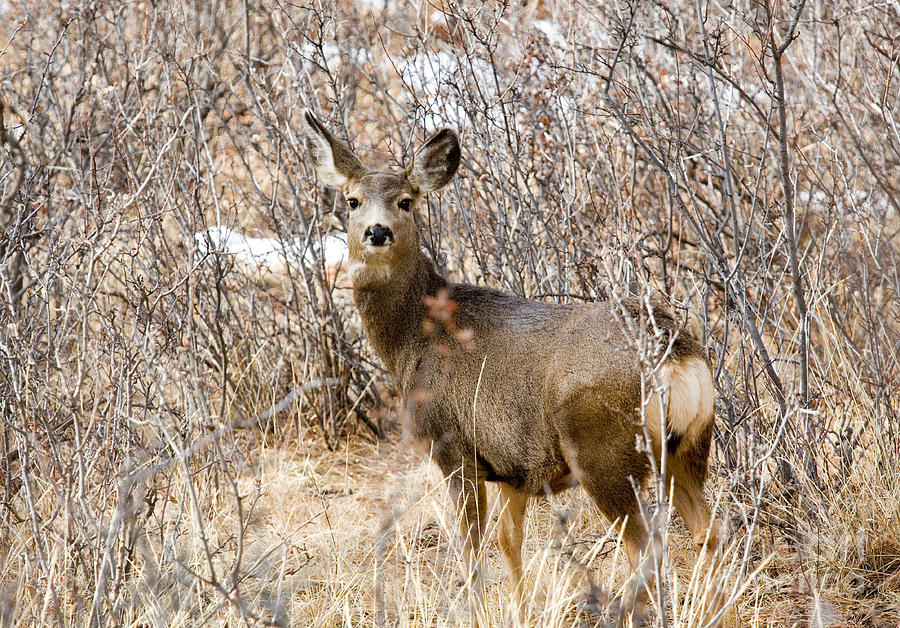 Mule Deer In Winter In The Pike National Forest Photograph