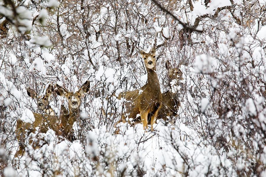 Mule Deer In Winter Snowstorm Photograph