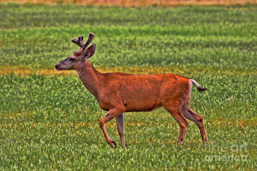 Deer Photograph - Mule Deer On The Sante Fe Trail by Tommy Anderson