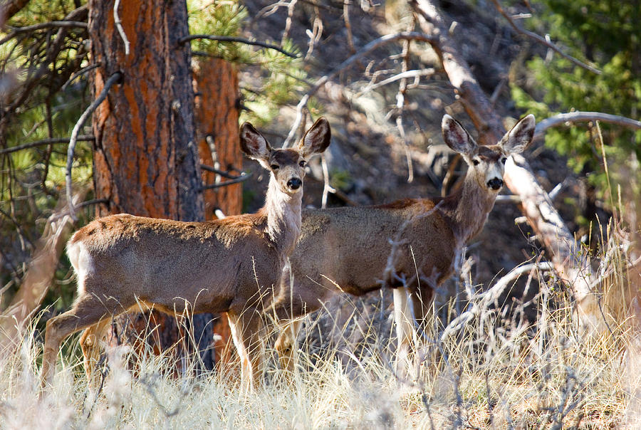 Mule Deer On The Trail To Bald Mountain Photograph