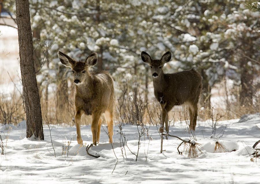 Mule Deer On Winter Walk Photograph