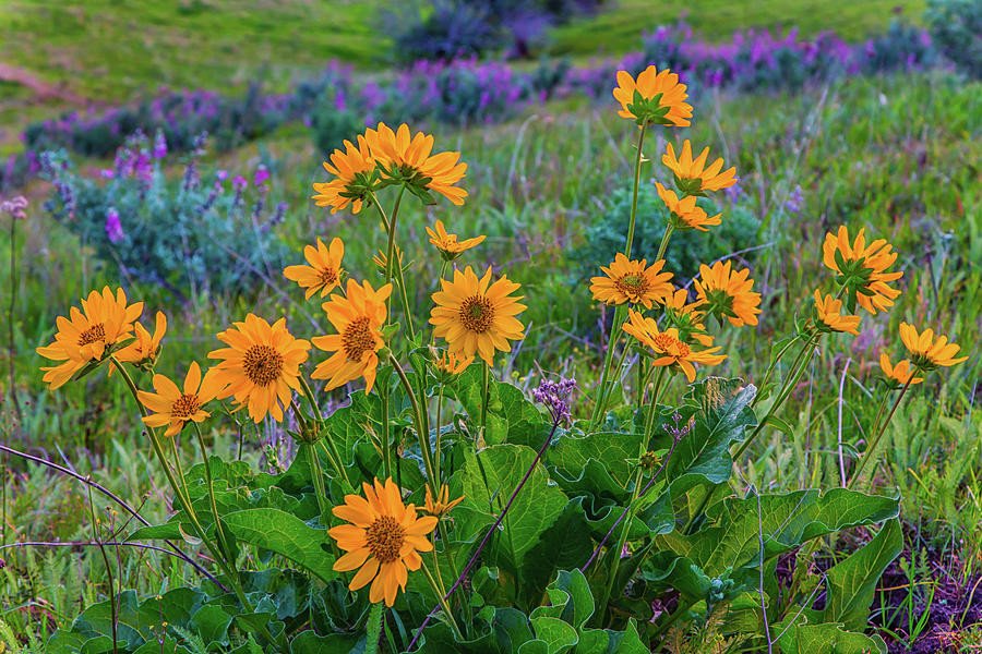 Mule's Ear and Lupine by Marc Crumpler