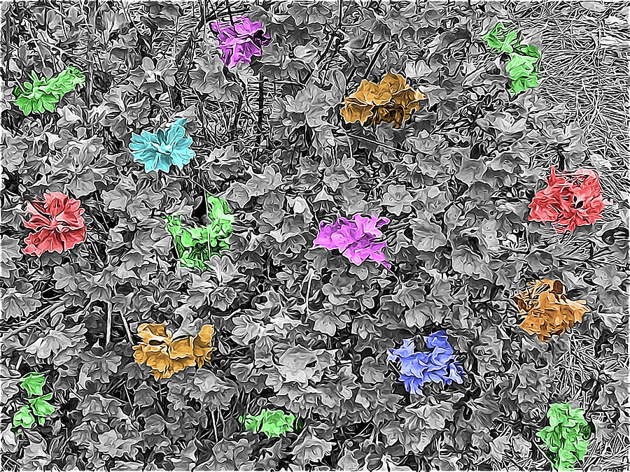 Photograph Digital Art - Multicolored Azaleas On Black And White by Marian Bell