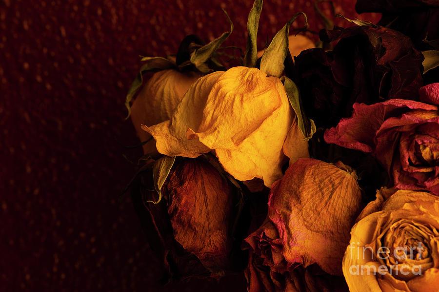 Abundance Photograph - Multicolored Roses Wilting  by Jim Corwin