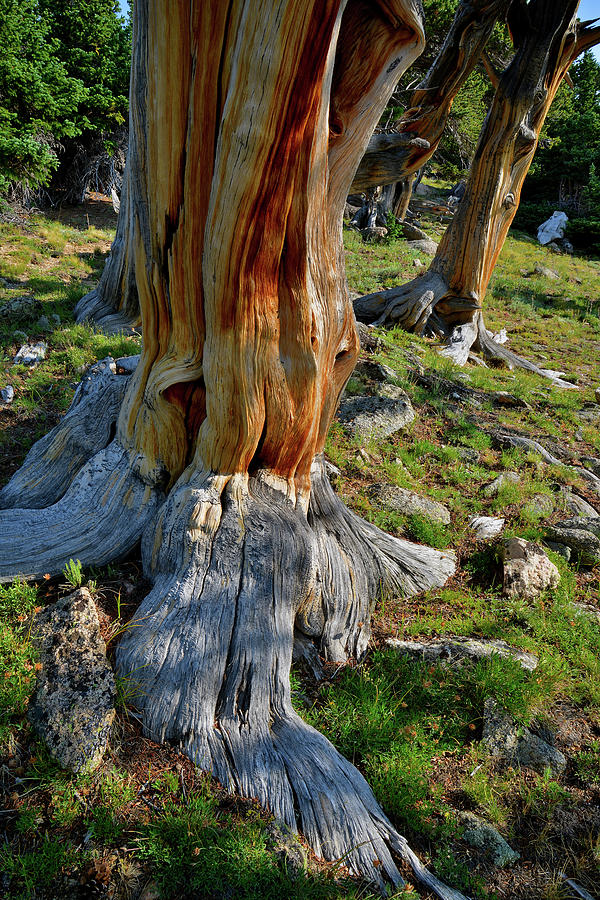 Mt. Evans Photograph - Multiple Bristlecone Pines On Mt. Goliath by Ray Mathis