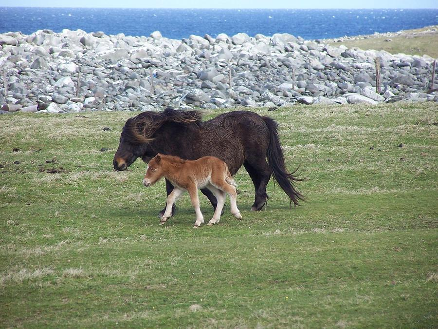 Shetland Pony Photograph - Mum And Daughter On A Windy Day by George Leask