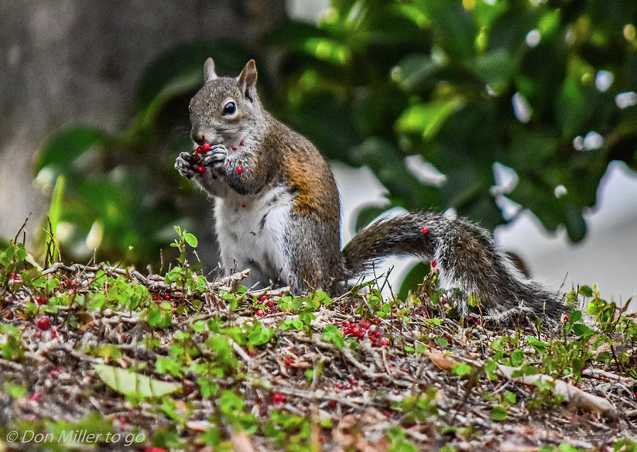Squirrel Photograph - Munch Time by Don Miller