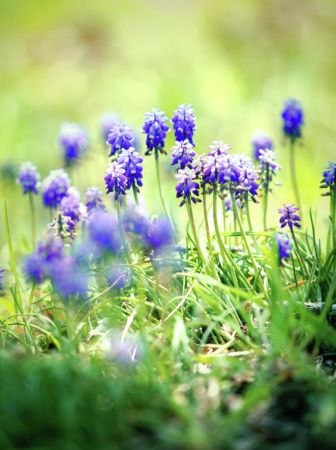 muscari and dreaming by Rachel Mirror