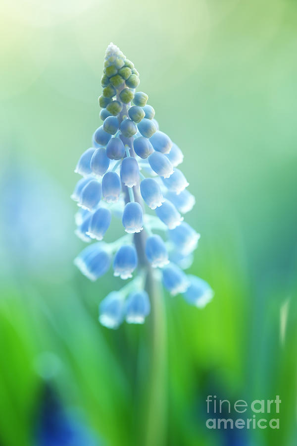 Muscari Dreams Photograph