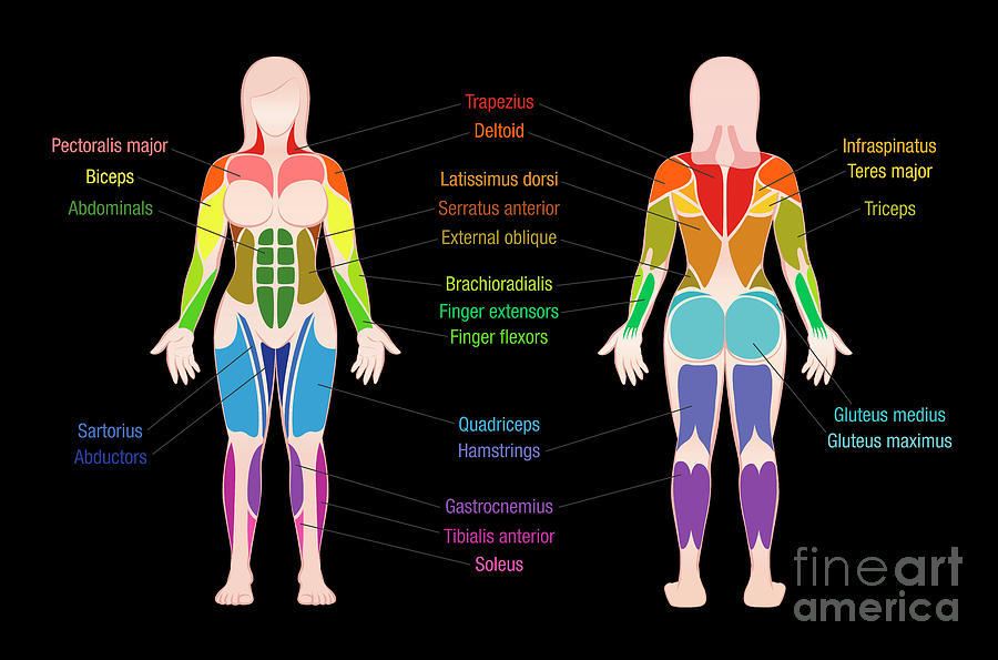 Muscle Chart Female Body Colored Muscles Black Digital Art By Peter