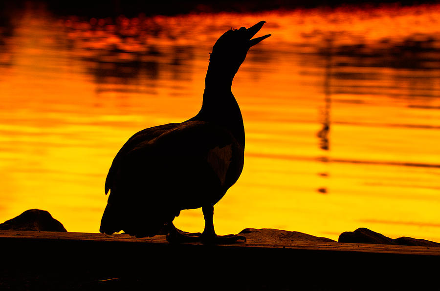 Duck Photograph - Muscovy Sunset by Rich Leighton