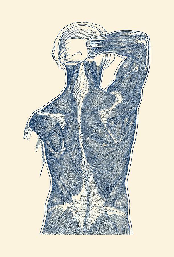 Muscular System Rear View 2 Vintage Anatomy Diagram Drawing By