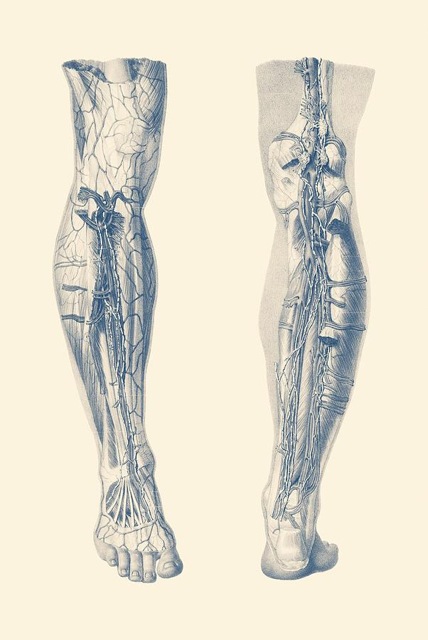 Muscular System - Right Leg Dual-view - Vintage Anatomy Drawing by ...