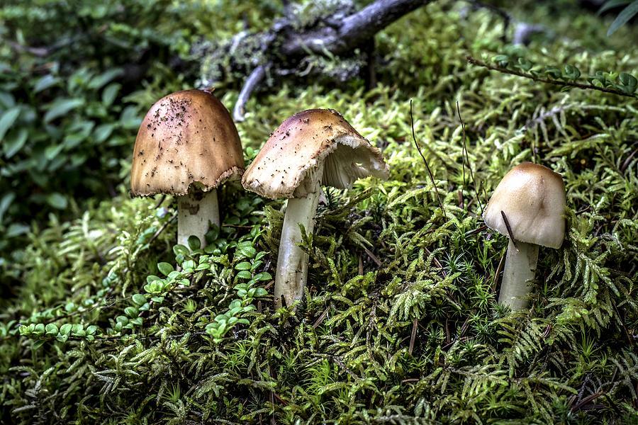 Mushroom Photograph - Mushrooms Trio by Crystal Fudge