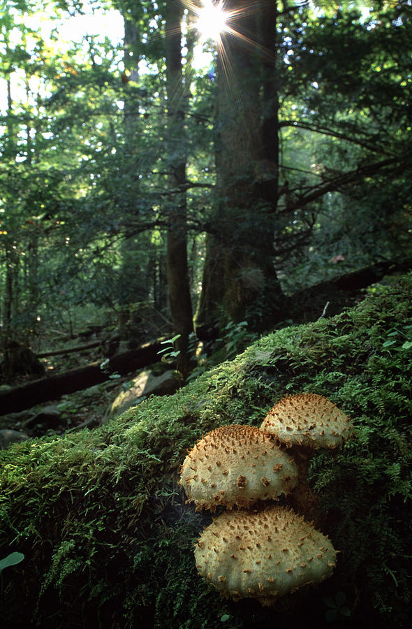 Mushrooms Scaly pholiota  by Harold Stinnette