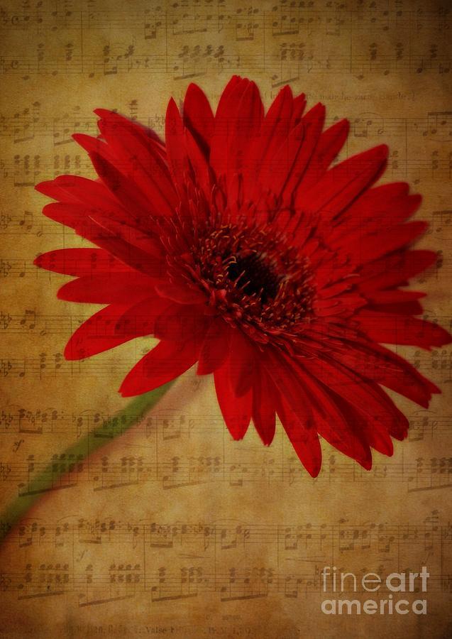 Gerbera Photograph - Musical Gerbera by Clare Bevan