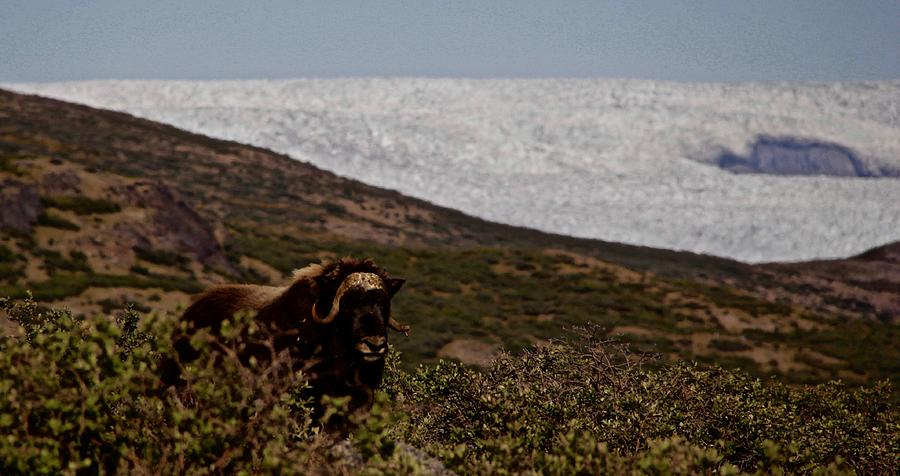 Landscape Photograph - Musk Ox In Front Of Greenlandic Icecap by Allan Iversen