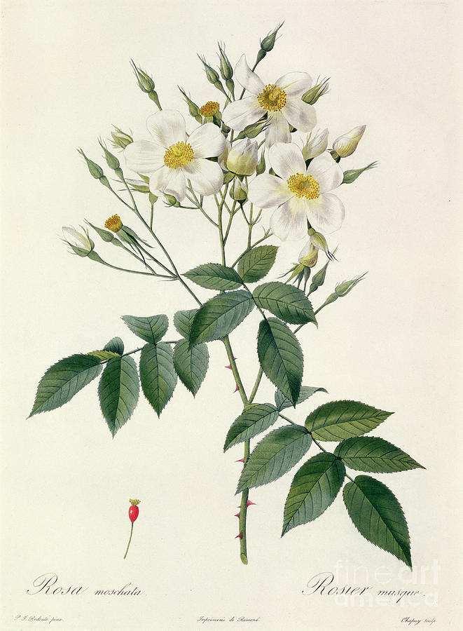 Rosa Drawing - Musk Rose by Pierre Joseph Redoute