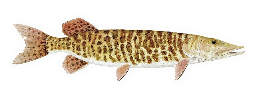 Muskellunge with Barred Markings by Thom Glace