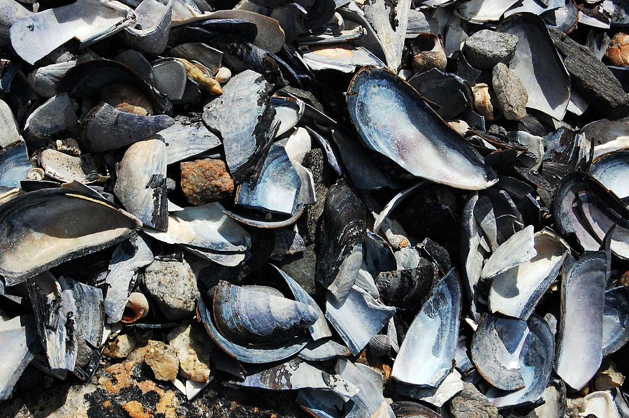 Maine Photograph - Mussel Shells by Rebecca Fulweiler