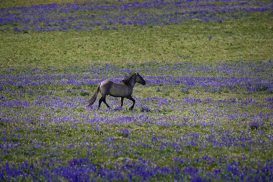 Wild Horses Photograph - Mustang In Lupine 1 by Roger Snyder