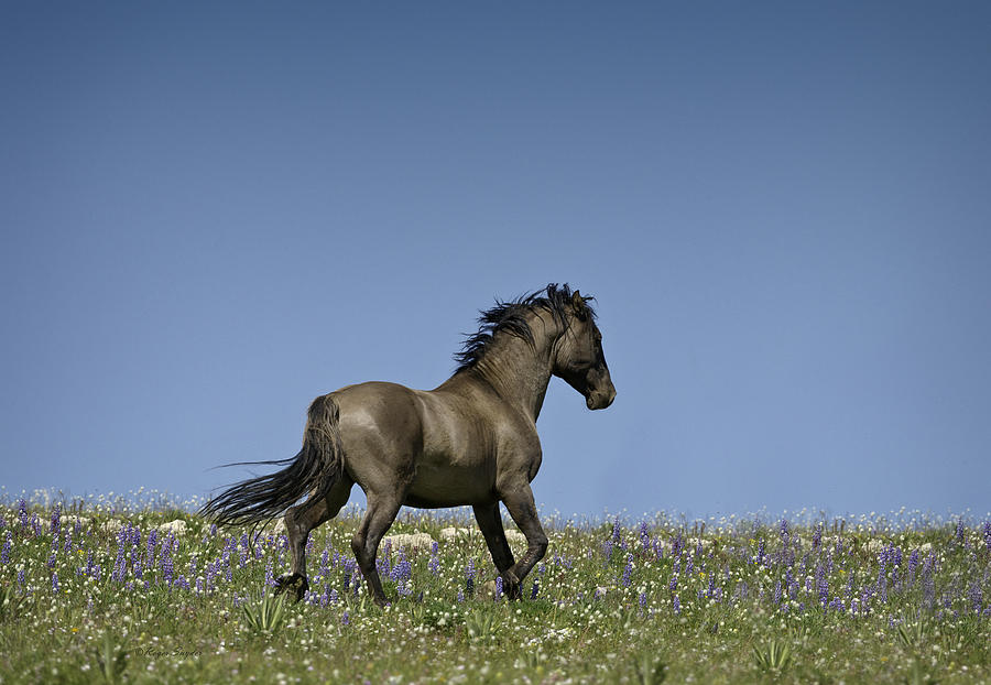 Wild Horses Photograph - Mustang Running 1 by Roger Snyder