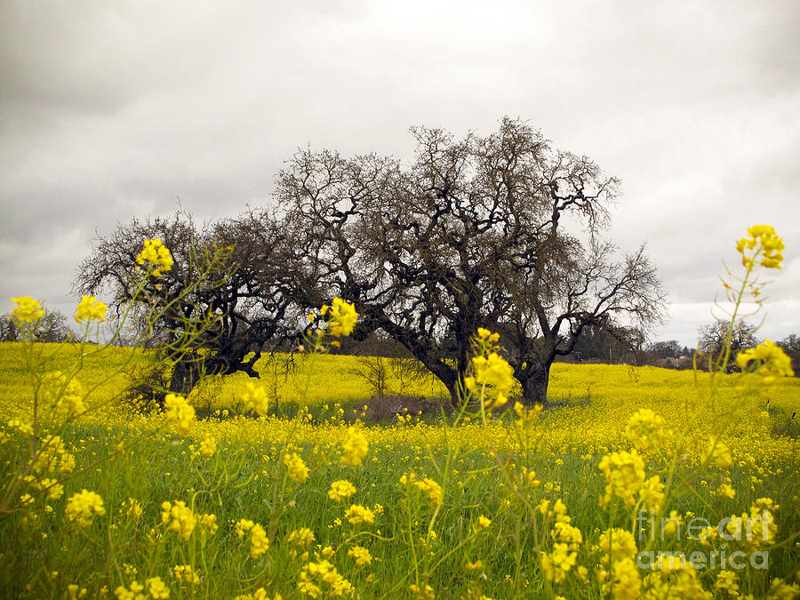Trees Photograph - Mustard And Oaks by Leslie Hunziker