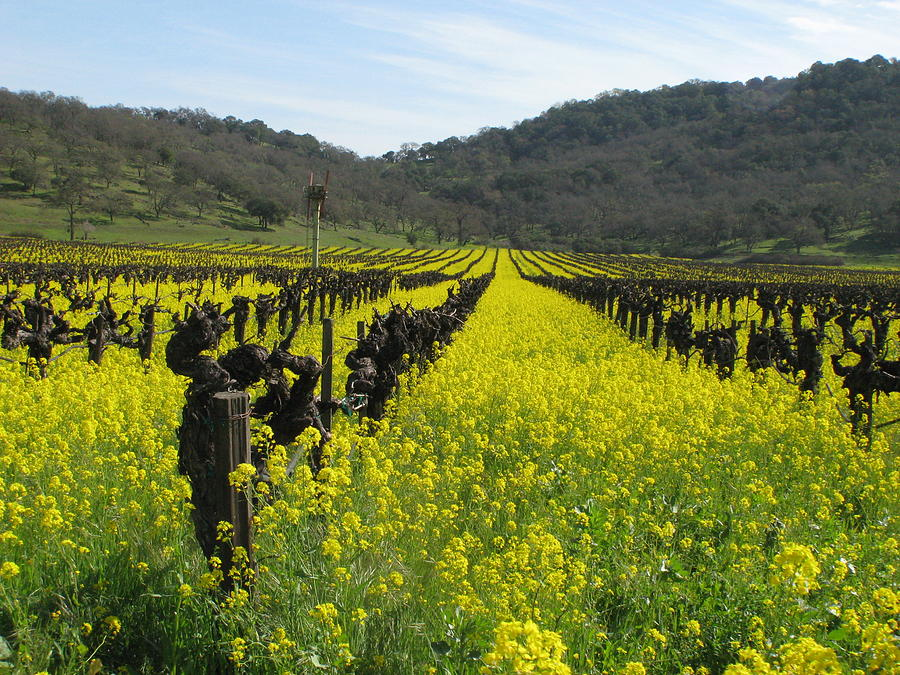 Landscape Photograph - Mustard In The Vineyards by Kim Pascu