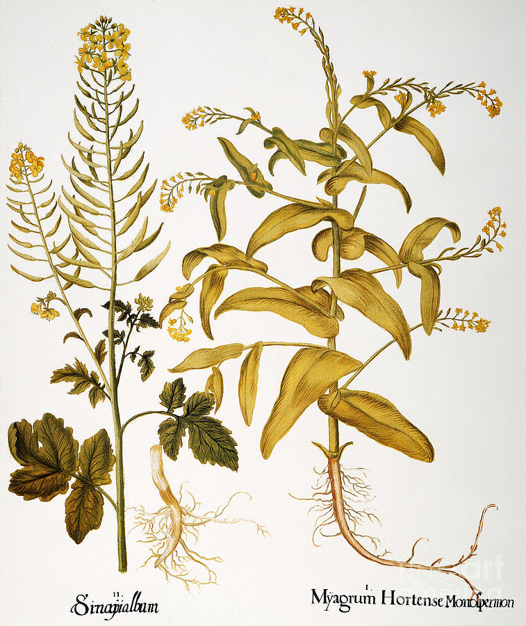 Basilius Photograph - Mustard Plant, 1613 by Granger