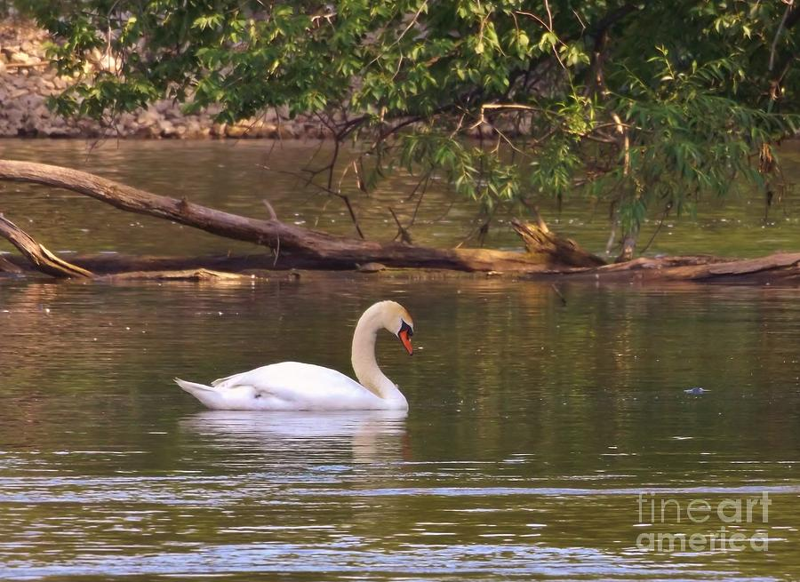Avian Photograph - Mute Swan     Image 2      Spring        St. Joe River          Indiana by Rory Cubel