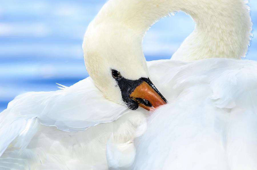 Mute Swan by Jaime Mercado