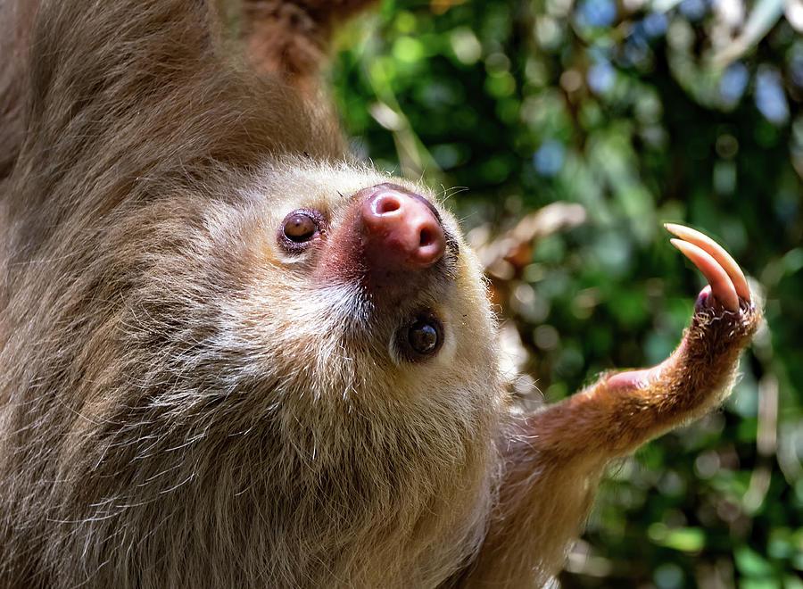 My Adorable Sloth Face Photograph