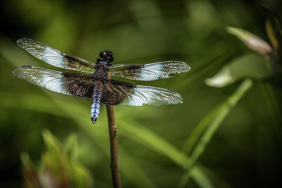 Dragonfly Photograph - My ancestors go back 325 million years by Paul Malen