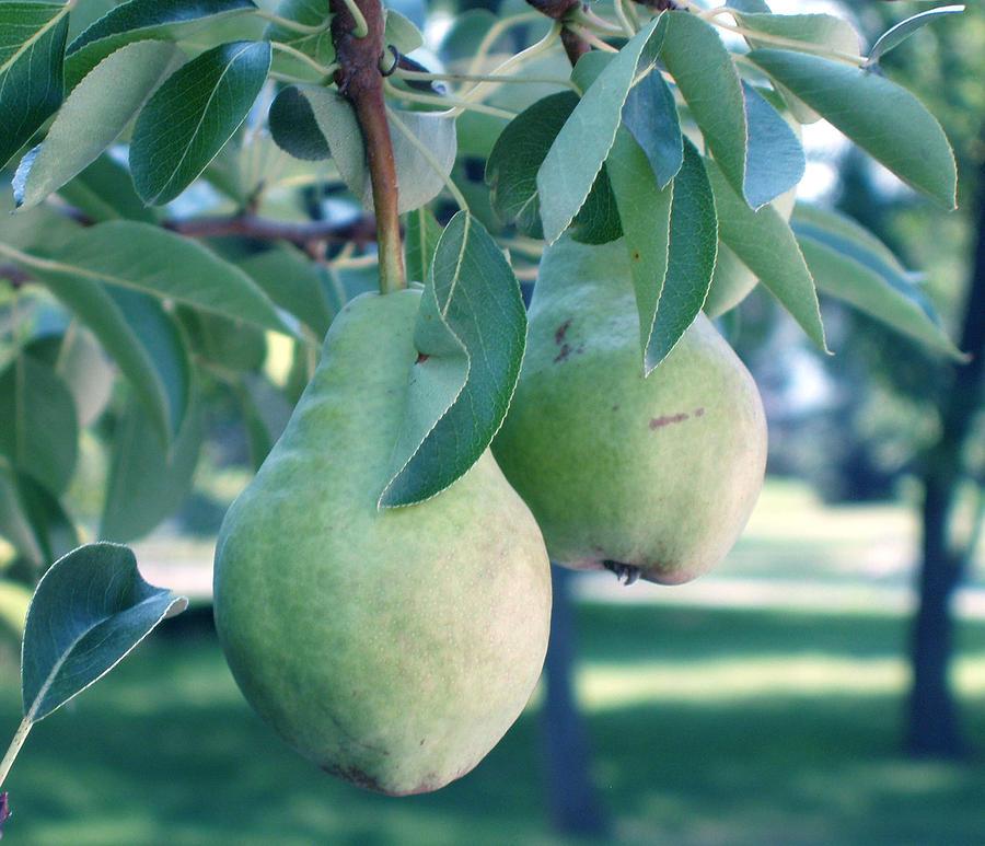 Pears Painting - My Brothers Pear Tree by Wayne Potrafka