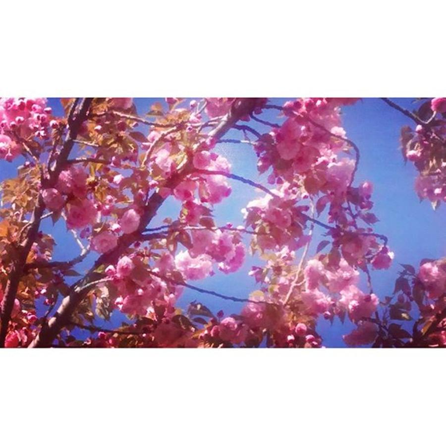 Instagram Photograph - My Cherry Blossom Trees Are Just by Genevieve Esson