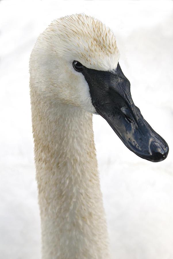 Trumpeter Swan Photograph - My Close-up by Richard Rivard