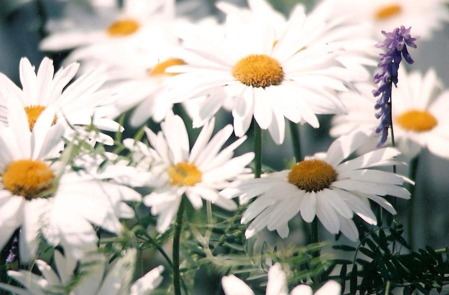 Daisies Photograph - My Daisies by Jackie Mueller-Jones