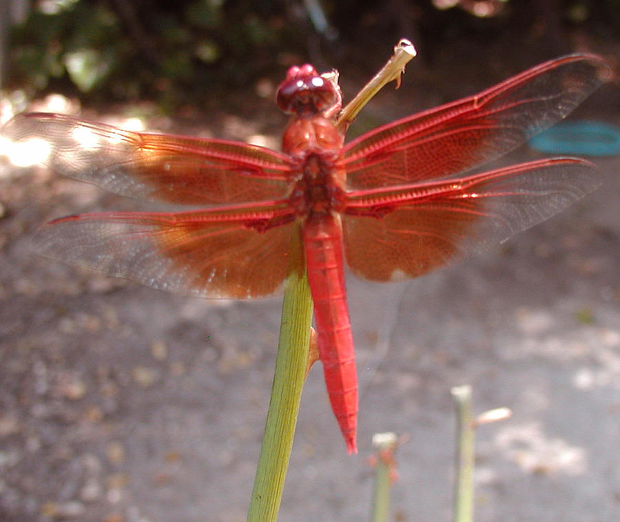 Dragonfly Photograph - My Dragonfly by Gail Salitui