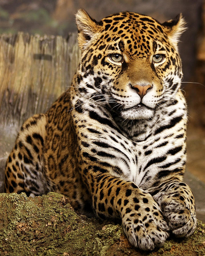 Jaguar Photograph - My Favorite Cat by Theo O Connor