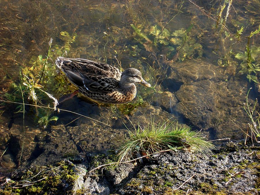 Duck Photograph - My Favorite Place. by Marilynne Bull