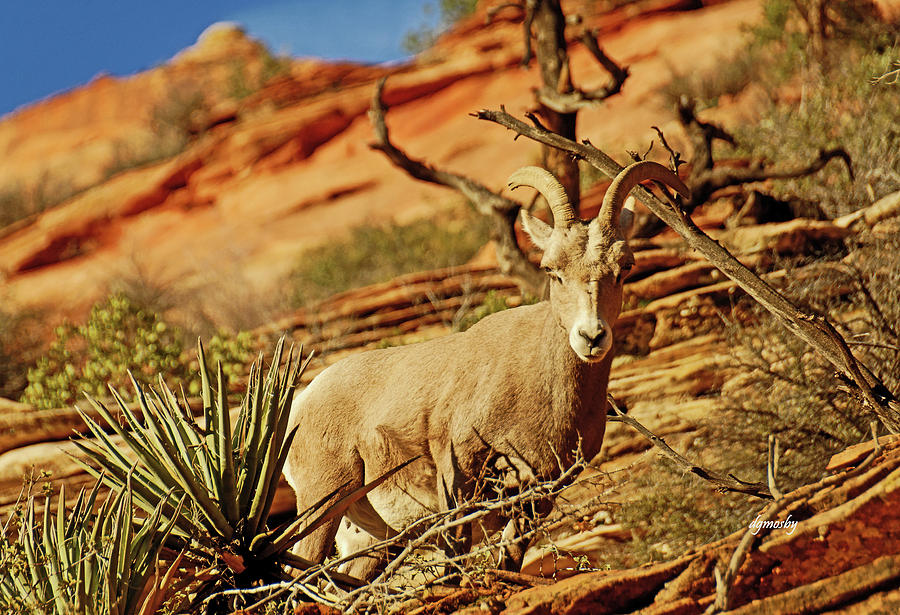 Bighorn Photograph - My Home You Can Go Now 7309 by David Mosby